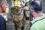 Reportéři Deníku si vyzkoušeli, jaké to je krmit krále zvířat.