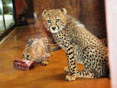 Simona Stašová křtila v Zoo Dvůr Králové gepardí mláďata