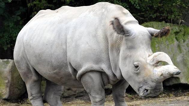 Nosorožec severní bílý