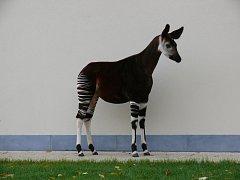 Královédvorská zoo přivezla vzácnou samici okapi oira.