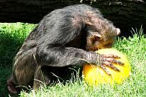 Enrichment v zoo Dvůr králové - šimpanz si hraje s míčem