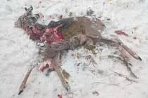 Krkonoše zaznamenávají nebývalý nárůst počtu nalezených zdechlin srnčí zvěře.