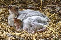 V zoo Dvůr Králové se vylíhla dvě mláďata vzácného hadilova.