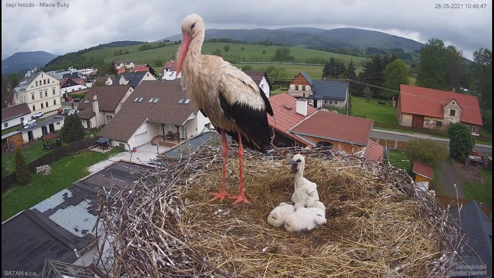 Čápata v městysi Mladé Buky přišla o maminku, pečuje o ně táta.