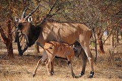 Senegalci ocenili královédvorskou zahradu za chov antilop.