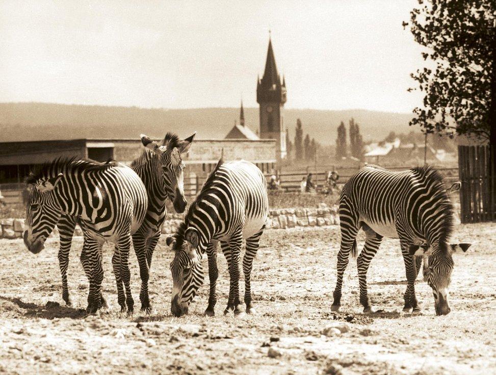 Královédvorské safari panorama (okolo roku 1972). Výběh se zebrami Grévyho v pěší části safari. Ve své době byl tento pohled oblíbený pro fotografování panoramatu safari a Dvora Králové.