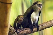 MLÁDĚ KOČKODANA Campbellova se prvně podařilo odchovat v Zoo Dvůr Králové.