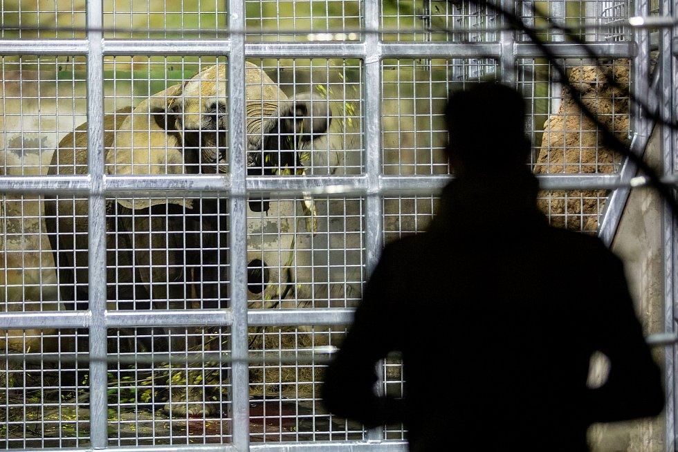 Do Safari Parku Dvůr Králové zamířila v pátek nová sloní samice z vídeňského Schönbrunnu.