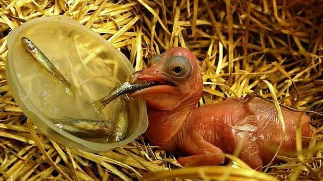 ZOO testovala na chřipku mláďata pelikánů. Někteří totiž z Ptačího světa poputují třeba až na Filipíny.