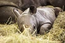 V Zoologické zahradě Dvůr Králové nad Labem se koncem ledna narodila dvě mláďata nosorožce dvourohého černého, východního poddruhu. Tato zvířata jsou ohrožena vyhynutím, ve volné přírodě jich žije posledních asi 700.