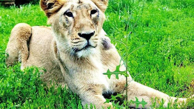 KRITICKY OHROŽENÍ LVI. Zoologická zahrada získala dvě samice lva indického, který patří mezi druhy ohrožené vyhynutím.