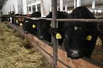 Rodinná farma Basařovi v Prosečném chová přes 200 kusů hovězího dobytka, převážně plemene Aberdeen Angus.