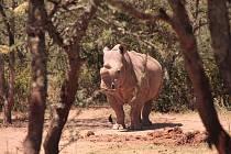 Královédvorským nosorožcům se  v Africe dobře daří - samice Fatu
