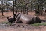 Královédvorským nosorožcům se  v Africe dobře daří - samec Suni