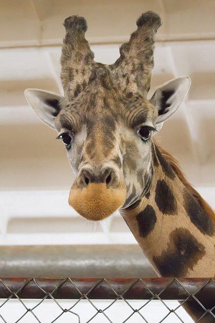 Samec žirafy Rothschildovy, kterého safari park získal zPlzně, se na konci týdne poprvé předvede návštěvníkům. Začne využívat celý výběh upanoramatické lávky vpěším safari.