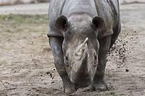 Zoologové Safari Parku Dvůr Králové museli přistoupit k uspání samice nosorožce dvourohého Jessi.
