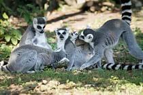 U lemurů se narodilo první mládě nového chovného samce.