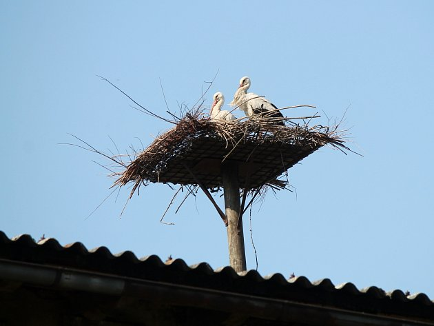 ZABYDLUJÍ SE. Čapí pár přilétl na hnízdiště vybudované náhradou za zbořený komín minulý týden.
