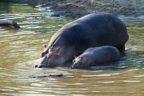 Hroši i s mládětem už jsou k vidění v letním výběhu.