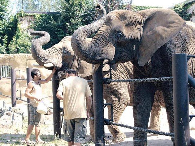 SLONI DOSTÁVAJÍ ODMĚNU. Ošetřovatelé Josef Brokeš a Radoslav Jaroš odměňují slony po úspěšném cvičení.