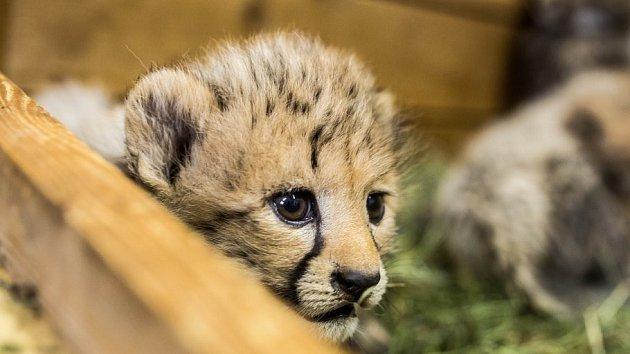 Čerstvě narozená gepardí paterčata v královédvorské ZOO