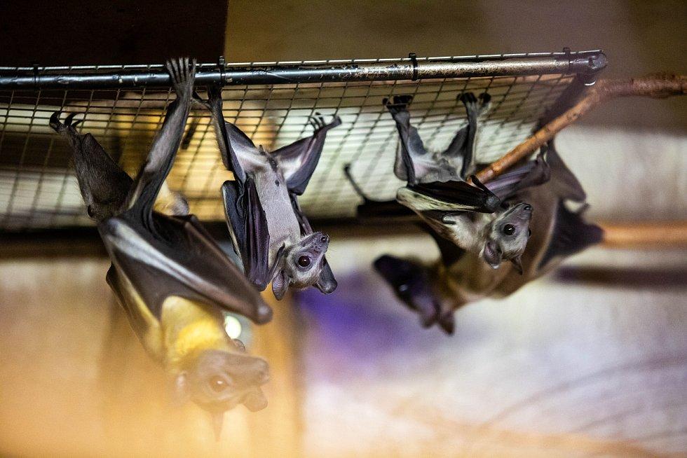 Mláďata netopýrů Kaloňů