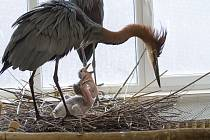 Volavka pečuje o mláďata marabua afrického.