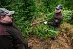Správa KRNAP každoročně připravuje vánoční stromky z prořezu ve svých lesích.