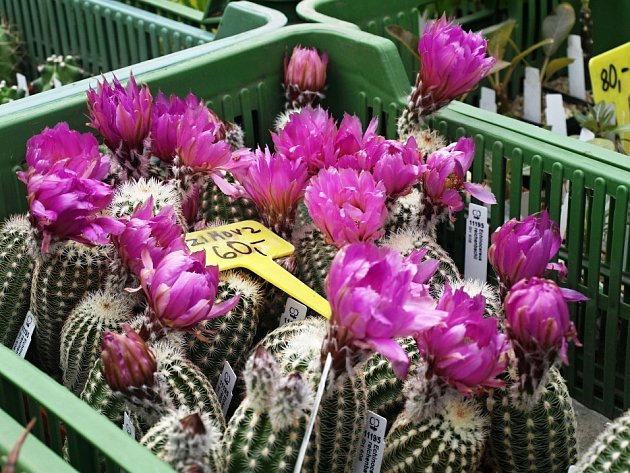 Kaktusy zaujaly odborníky i laiky