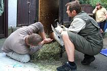 Transport zvířat z královédvorské zoo do Německa - veterinární kontrola