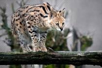 Zoo opět chová servaly, samici získala z Francie.