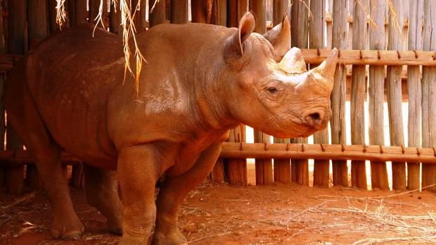 ELIŠKA V TANZANII. Mládě z královédvorské zoologické zahrady se úspěšně aklimatizuje na africký kontinent.