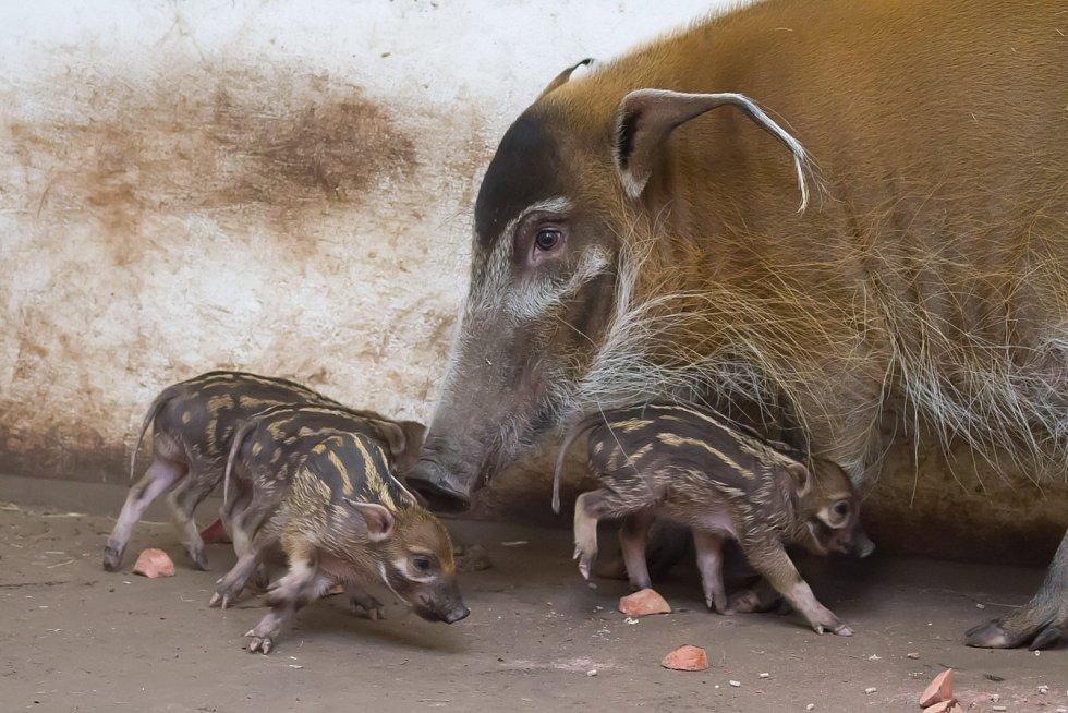 V Safari Parku Dvůr Králové se narodili čtyři štětkouni afričtí.