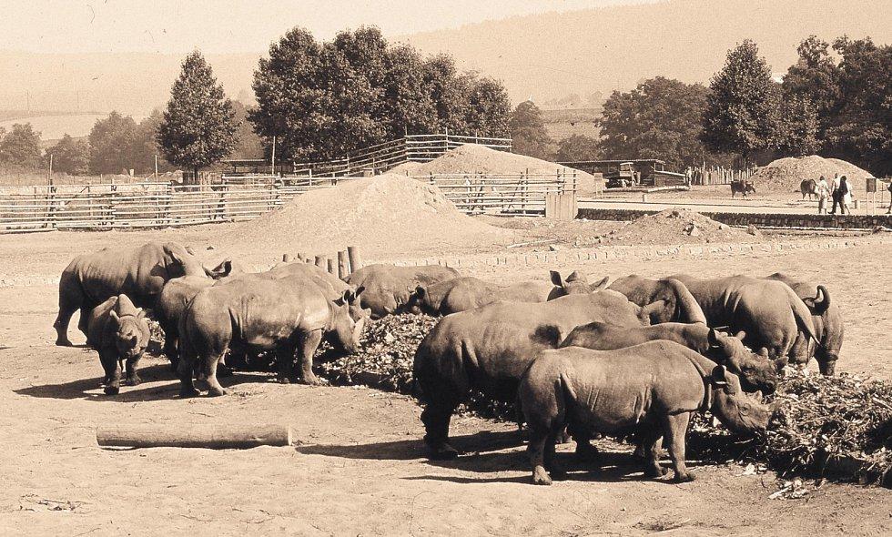 """Jako první fáze výstavby afrického safari byla realizována """"pěší část"""" prohlídkového okruhu. Původně byla zamýšlena pro automobilový provoz, dlouhá léta ale sloužila pěším návštěvníkům. Na fotografii je skupina nosorožců tuponosých, jinak též bílých."""