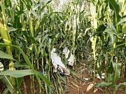 Trosky zříceného větroně objevili záchranáři v kukuřičném poli na výpadovce z Trutnova na hory.