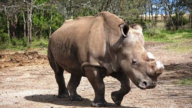 Bílý nosorožec Suni uhynul