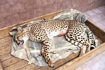 Gepard po operaci