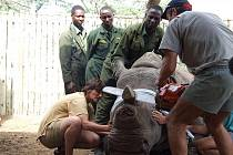 Úprava rohů u nosorožců v Africe
