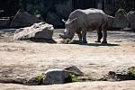 Skupina nosorožců bílých si ve dvorském Safari Parku zvyká na novou členku, tříletou samici jménem Gaya. Návštěvníci je neruší, zoo je kvůli šíření koronaviru uzavřená.