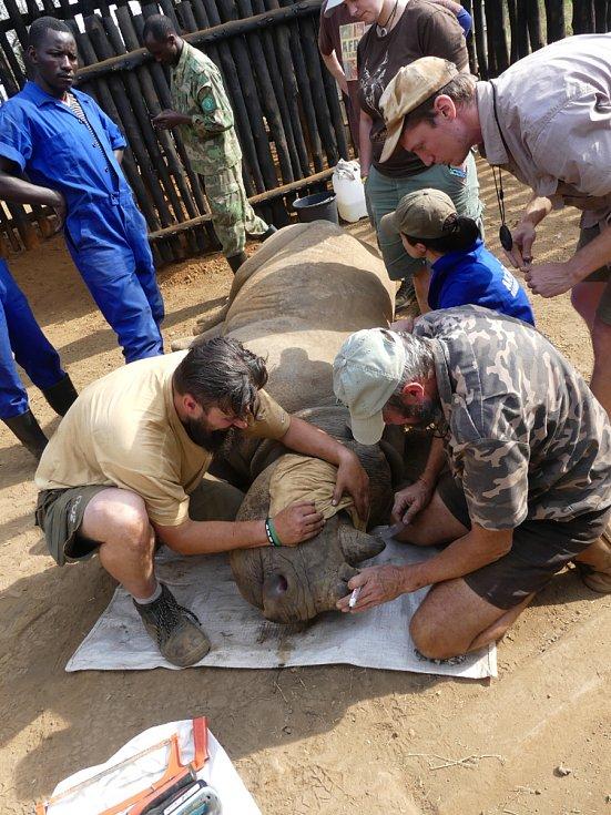 Nosorožce museli ošetřovatelé uspat, aby jim mohli do rohů umístit vysílačky. Díky nim budou neustále pod kontrolou.