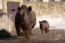 Prosincové mládě černých nosorožců na jarní vycházce ve Dvoře Králové
