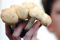CO LZE NYNÍ NALÉZT I SNÍST?  Vyrazíte–li na houby, můžete si domů přinést například čirůvku májovku.