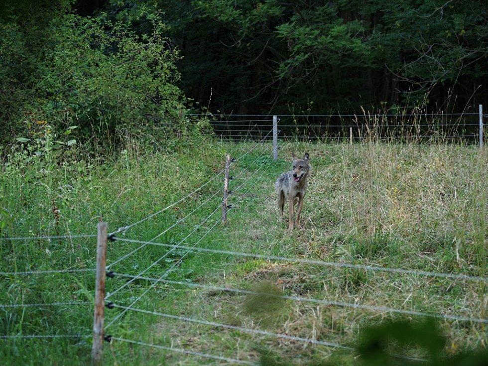 Vlčice v ohradě s ovcemi.