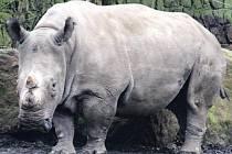 SEVERNÍ FORMA BÍLÝCH NOSOROŽCŮ je nejohroženějším druhem. Kromě Afriky můžete zvířata vidět ve Dvoře Králové a v americkém San Diegu.