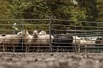Horští pastevci přesouvají před zimou stádo ovcí z krkonošských luk do údolí.