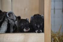 V Safari Parku Dvůr Králové se jako v první zoologické zahradě v Česku narodila mláďata cibetek afrických.
