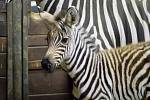 V Safari Parku Dvůr Králové se narodilo mládě zebry Böhmovy.