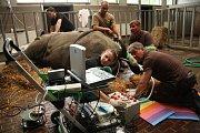 Odběr vajíček jižního bílého nosorožce.