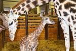 Narození 250. žirafy v zoo Dvůr Králové je světovým rekordem