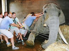 SETKÁNÍ ZOONADŠENCŮ nabídne burzu pohlednic a zajímavých snímků ze zoo, třeba operace sloního samce.
